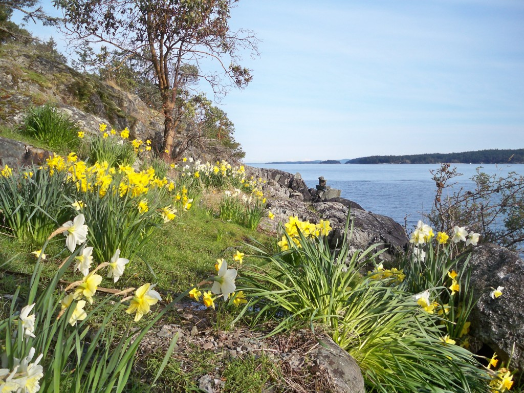Daffodil season on our shore
