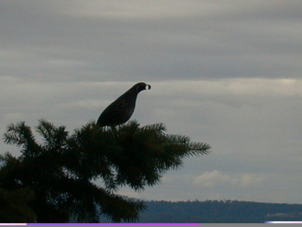 Quail on tree