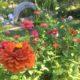 Zinnias in my garden